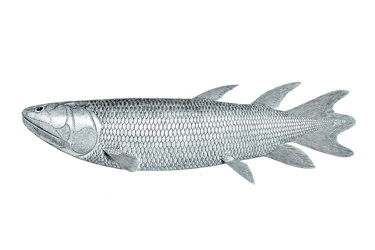 eusthenopteron_foordi_guide_to_the_gallery_of_fishes
