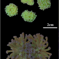 Phosphate deficiency promotes coral bleaching and is reflected by the ultrastructure of symbiotic dinoflagellates